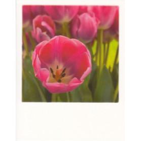 Polacard - Tulpen