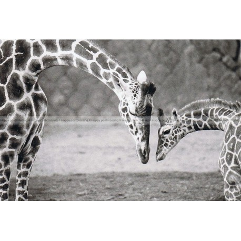 Giraffen liefde