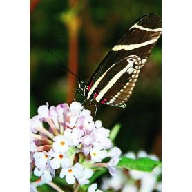 Zebravlinder