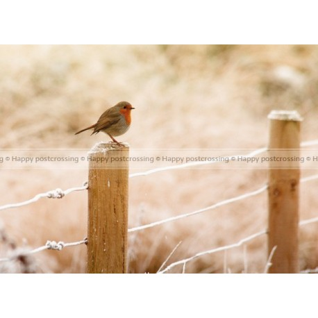 Robin in wintertime