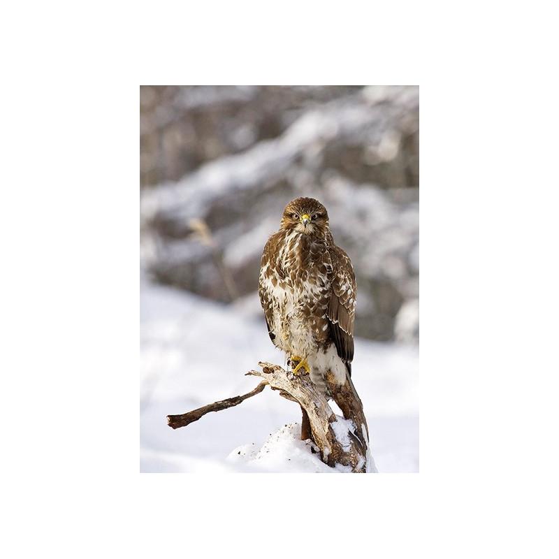 Roofvogel in de sneeuw