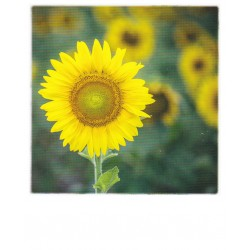 Polacard - Sunflower
